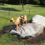 Dwarf Nigerian Goats