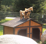 Nigerian Dwarf Goats - Peaches and Pippa